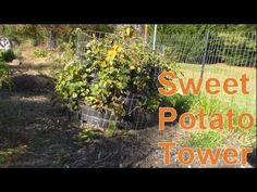 Growing Potatoes the Easy Way - Potato Towers