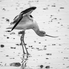 Avocet stretching at Rollover Pass on Texas' Bolivar Peninsula