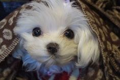 Awwwwww-looks like my Dante!♥ #maltese