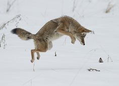 We watched a coyote from our bedroom window this winter hunting, just like this one. It was so neat to see him jumping into the snow and coming up with a chipmunk. Sadly, he was hit by a car in the spring and died.