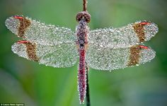 Thousands of tiny drops cover the insects - making them look like early-morning jewels. http://www.dailymail.co.uk/sciencetech/article-2204470/The-dragonflies-pose-picture-undertake-daily-shower.html?ito=feeds-newsxml#