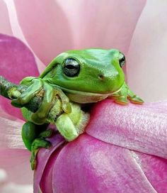 Green Frog on Pink Petals Funny Frogs, Cute Frogs, Dumpy Tree Frog, Whites Tree Frog, Green Tree Frog, Frog Art, Pink Petals, Frog And Toad, Reptiles And Amphibians
