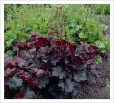Heuchera micrantha 'Palace Purple' | Lambley Nursery
