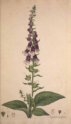 "peonyandbee: "" rerdburry: Digitalis purpurea illustrated by William Curtis"""