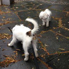 heididahlsveen:  #atsjoo og bambi #cotton #maltese mix studerer en pinne. #dog #dogs #puppy #hund #hunder #valp