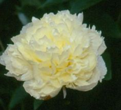 Laura Dessert - Herbaceous Peony/ Paeonia