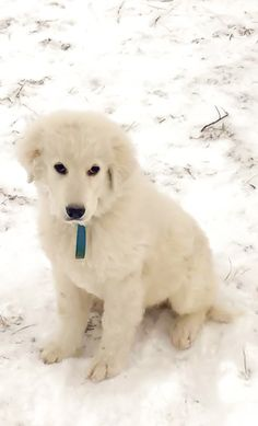 Lost Dog - Maremma Sheepdog - Deerfield, OH, United States 44411