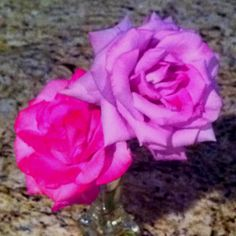 Never seen this type of coloring from one rose bush. I think I have a mutant.