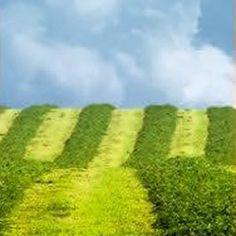 yurekli-mercimek-tohumu