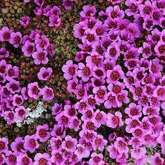 100+ Saxifraga Purple Robe Flower Seeds , Under The Sun Seeds