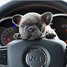 """4,104 Likes, 51 Comments - My Cutest Frenchie (@mycutestfrenchie) on Instagram: """"My Uber driver  Follow @mycutestfrenchie for more Tag your friends   by @kimberog Tag…"""" #dogawesomeideas #buldog"""