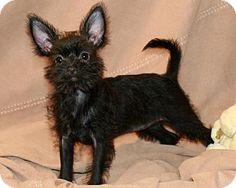 Allentown, PA - Yorkie, Yorkshire Terrier/Brussels Griffon Mix. Meet Quinzy, a puppy for adoption. http://www.adoptapet.com/pet/11532895-allentown-pennsylvania-yorkie-yorkshire-terrier-mix