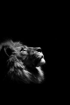 Résultats de recherche d'images pour « lion black and white Amazing Animals, Majestic Animals, Animals Beautiful, Lion Wallpaper Iphone, Animal Wallpaper, Lion Images, Lion Pictures, Animals Tattoo, Tiger Artwork