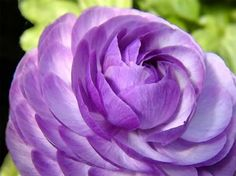 Google Image Result for http://i470.photobucket.com/albums/rr62/One-Day-Ideas/Blog/purple-peony.jpg