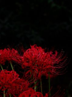 11 Nabi Ideas Red Spider Lily Lilies Drawing Lily Wallpaper