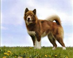 Canadian Eskimo - contributed to the Chinook breed.