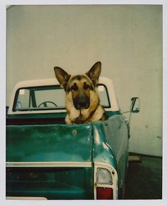 Shepherd in Pickup
