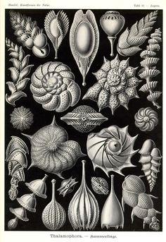 Thalamophora by Ernst Haeckel; Kunstformen der Natur, 1900