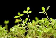 Majoránka;  pěstování