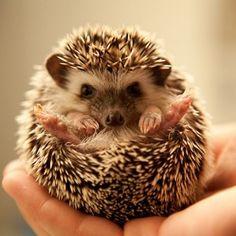 I wish pet hedgehogs weren't illegal in Georgia..