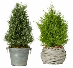 for the bathroom :)  rosemary and lemon cypress trees (I have rosemary in my bathroom) Love it there!