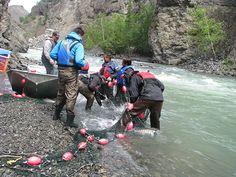 Volunteers work to net fish in the Little Tahltan River. Once netted and placed in totes, the fish were airlifted by helicopter to their spawning grounds.