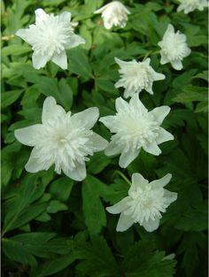 Anemone nemorosa 'Alba Plena'