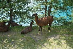 Lamas wurden vor einiger Zeit in Südtirol angesiedelt