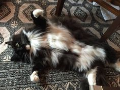 And this cuddle bug who knows exactly how to show off that fluffy belly. | 27 Cats Who Really Nailed Being A Cat