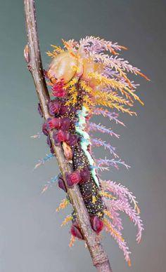 【閲覧注意】 クッソハデな蛾の幼虫が話題にwwwwwww