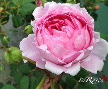 Fil Roses - Engelse rozen, Struikrozen en Oude rozen Alan Titchmarsh