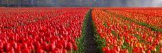 Denkend aan Holland Zie ik rijen tulpen staan  Keukenhof open!