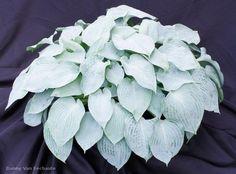Hosta Silver Light - hybrid of 'Hadspen Blue' x 'Sky Dancer'.