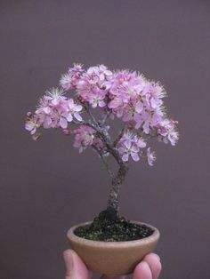 - pink flowering cherry would be my guess. I am training one of my almond trees into a bonsai and the flowers look pretty close to this but a darker pink. I should think peach trees would also make pretty bonsai as well as being useful to eat. Peach Blossom Tree, Peach Trees, Blossom Trees, Cherry Blossom, Almond Blossom, Mame Bonsai, Bonsai Azalea, Bonsai Plante, Arrangements Ikebana
