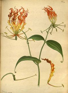 Tons of Botanicals on This Website!!! 111360 Gloriosa superba L. / The botanist's repository [H.C. Andrews], vol. 2: t. 129 (1799-1801) [H.C. Andrews]
