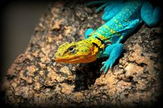 """The collared lizard or """"Mountain Boomer"""" has been Oklahoma's state reptile since 1969. You can see them at the Wichita Mountains Wildlife Refuge in Lawton."""