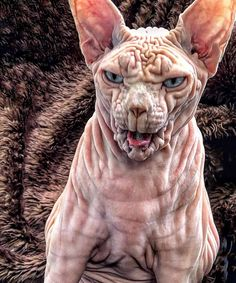 Sphynx Cat Pictures That Will Blow Your Mind These sphyx cat pictures are truly amazing! I personally am not sure you yet if I am a fan of sphynx cat breed as yet, I have never had a sphynx breed but as a catlover I am sure I could love one o… Pretty Cats, Beautiful Cats, Animals Beautiful, Beautiful Pictures, Funny Cats, Funny Animals, Cute Animals, Spinx Cat, Chat Sphynx