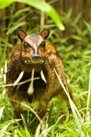 The Philippine Mouse Deer.