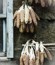 autumn corn....