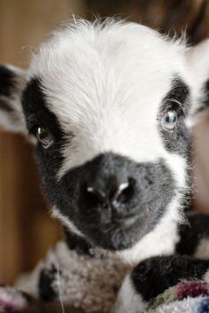 Cute lamb by s_karr