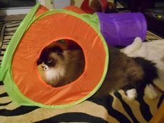 """My big ragdoll boy,"""" Rocky.""""  He is 27 lbs. and tries to fit in the toys like all the other cats."""