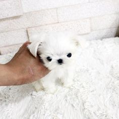 Micro mini male maltese Leo is for sale he is just perfection !!!!!