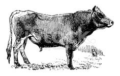 Jersey Bull (Isolated on White) royalty-free stock illustration