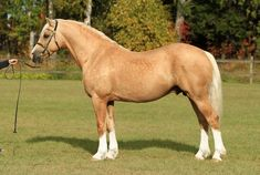 palomino - Welsh Cob (section D) stallion Jebeth Hitchhikers Guide