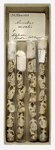 featherandmoss:  Skulls of Microtus arvalis, Hensel Collection. From the Museums of Strasbourg.
