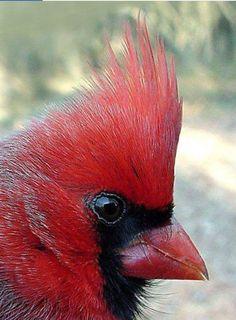 Beautiful cardinal Pretty Birds, Love Birds, Beautiful Birds, Animals Beautiful, Bird Pictures, Animal Pictures, Animals And Pets, Cute Animals, State Birds