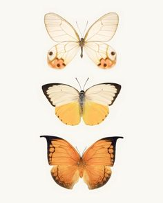 Fine art butterfly photography print of a three orange and yellow butterflies, by Allison Trentelman.