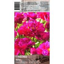 Red Paeonia