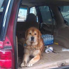 Molly - Tibetan Mastiff Rescue, Inc.
