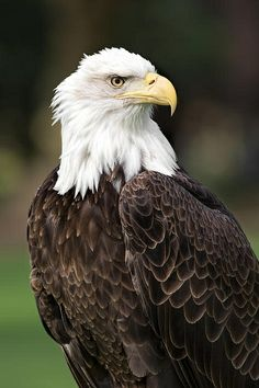 Did you know Bald eagles live for around 20 years in the wild.